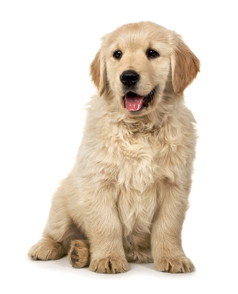 golden retriever study golden retriever study suggests neutering affects health animal naturopath