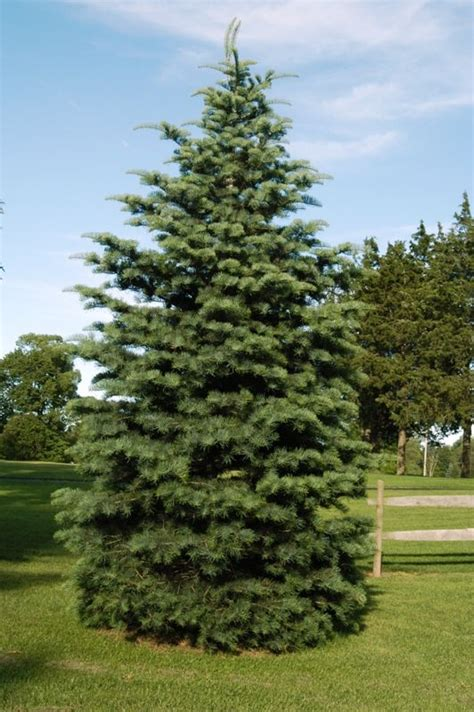 tree of the week concolor fir kramer tree specialists
