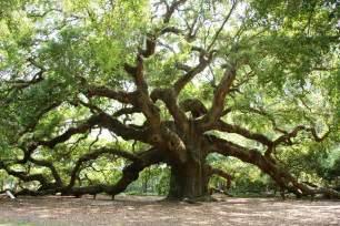 Live Oak South Carolina S Oak Acorns On Glen