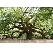 South Carolina's Unbelievable Angel Oak  Acorns On Glen