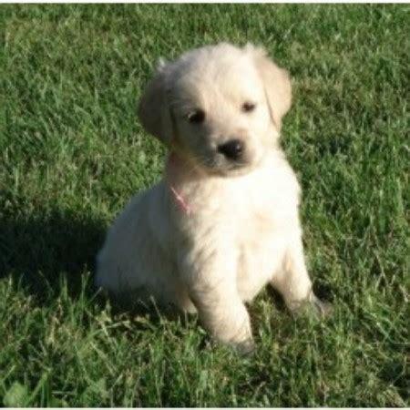 golden retriever puppies illinois free charisgoldens golden retriever breeder in peoria illinois