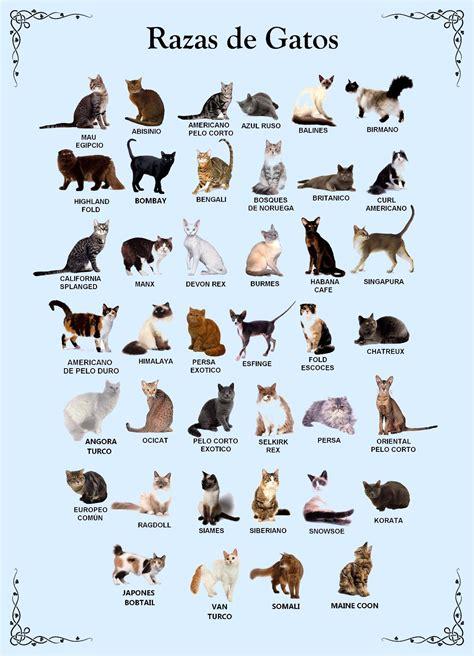 imagenes figurativas con sus caracteristicas razas de gatos caracter y caracteristicas de los gatos