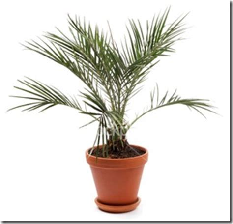 house palm 15 house plants you can use as air purifiers air