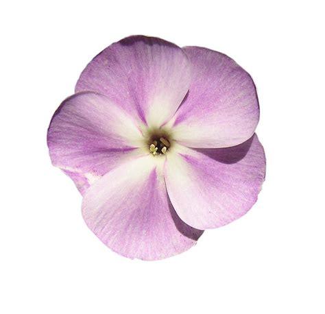 Gamis Purple Flower 1 gratis stock foto s rgbstock gratis afbeeldingen paarse bloem mzacha february 15