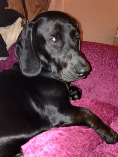 bassador puppies for sale bassador brody wigan greater manchester pets4homes