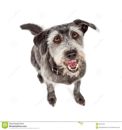 scruffy breeds happy crossbreed sitting overhead view stock photo image 63937494