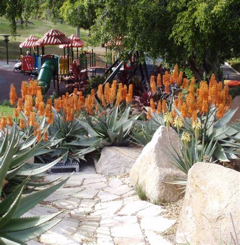 gardendrum pdudman aloe outback orange in roma st