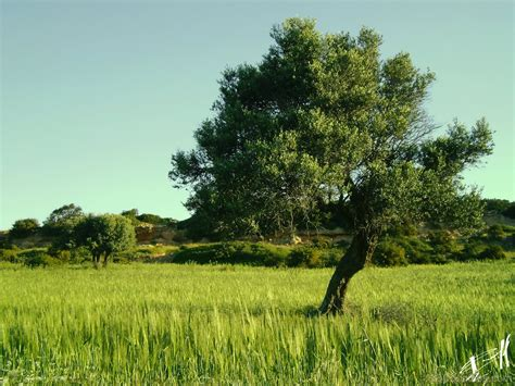 olive tree wallpaper national tree of italy olive 123countries
