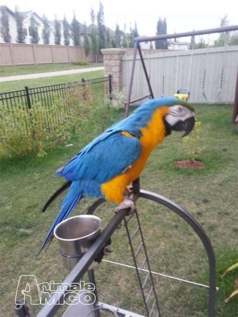 gabbia per ara vendita ara ararauna da privato a uccelli ara ararauna
