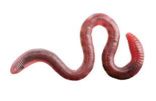 Types Of Garden Worms - what do worms eat