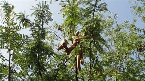 tamarind tree fruit file tamarind unripened fruits and tree jpg wikimedia
