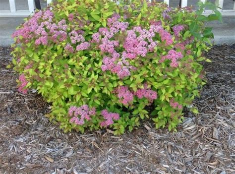 how to rejuvenate prune spirea shrubs recipe beautiful