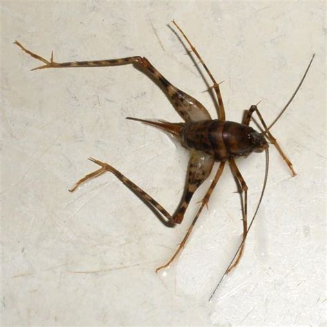 jumping insects in basement camel cricket what s that bug