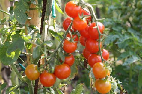 pianta pomodoro in vaso l articolo prosegue dopo il