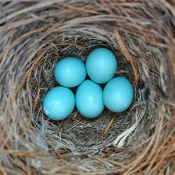 what color are bluebird eggs bluebird eggs flickr photo
