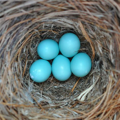 bluebird eggs flickr photo sharing