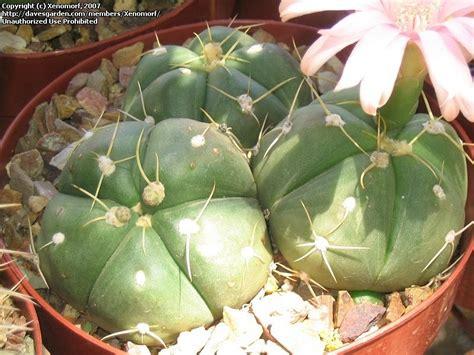 Desert Botanical Garden Gift Shop Plantfiles Pictures Gymnocalycium Gymnocalycium Horstii Var Pentacanthum By Xenomorf