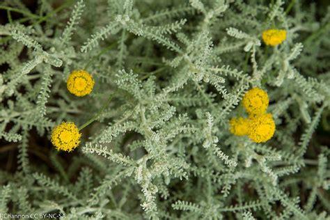 nana da giardino santolina nana un arbusto sempreverde pollicegreen