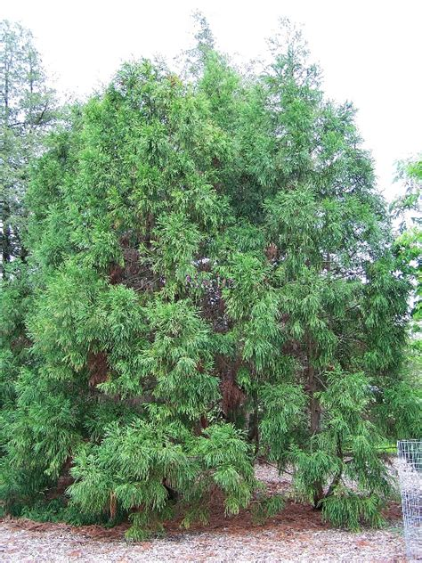 cedar trees japanese cedar tree pictures images facts on japanese