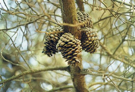 dancing with trees 187 seeds pods and cones