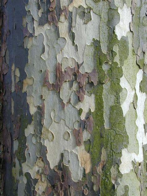bark color plane tree bark shades of green light blue grey
