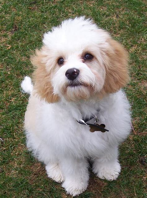 cavachon puppies cavachon information pictures reviews and q a greatdogsite