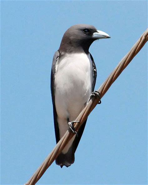 bird black with white breast