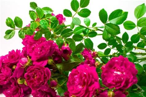 care  wild rose bushes hunker