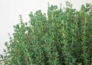 Garden Thyme herb garden s herb home herb gardens