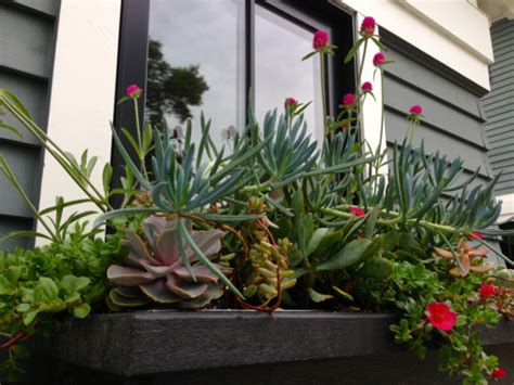 succulent window box garden bloom day june 15 2014 the garden buzz