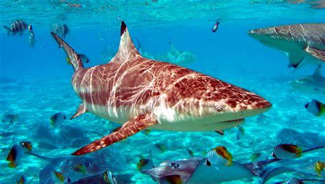 imagenes sorprendentes tiburones datos sobre los ataques de tiburones
