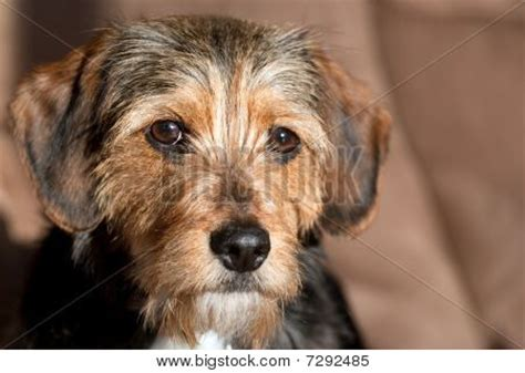 beagle yorkie mix picture or photo of portrait of a terrier beagle mix shallow