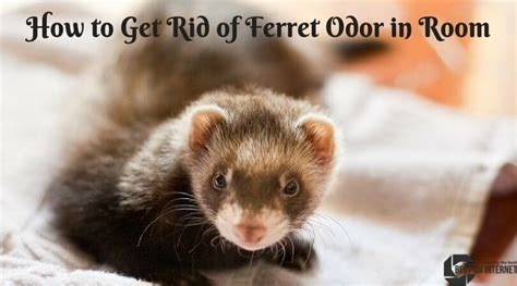how to get rid of dog odor in house how to get rid of ferret odor in room top solution by experts