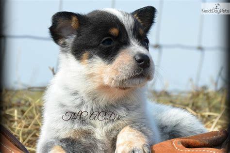 puppies for sale cincinnati free pomsky puppies for sale cincinnati ohio picture hd breeds picture