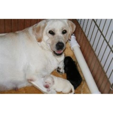 free puppies in maryland labrador retriever lab breeders in maryland