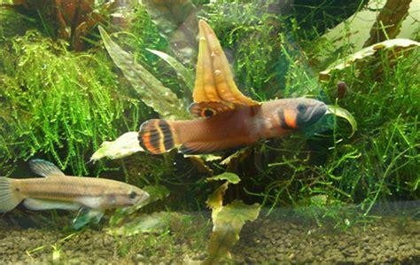 Makanan Ikan Cupang Rawa gambar pencarian ikan laga liar aneh unik ikan cupang