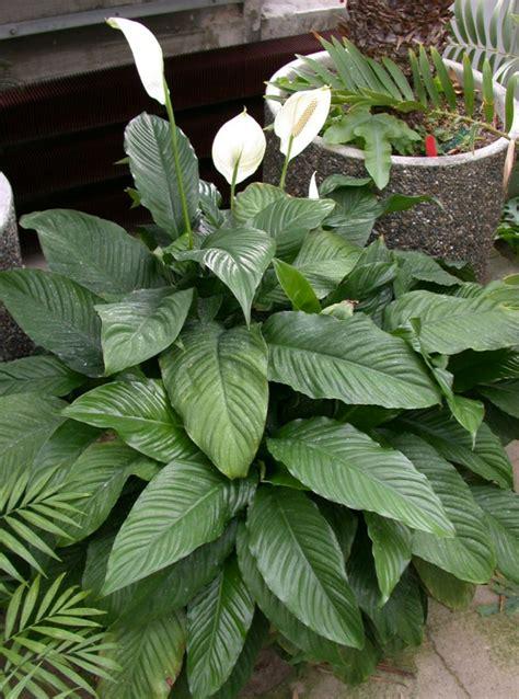 passende pflanzen zu lavendel schattenpflanzen f 252 r terrassen welche nicht sonnig sind