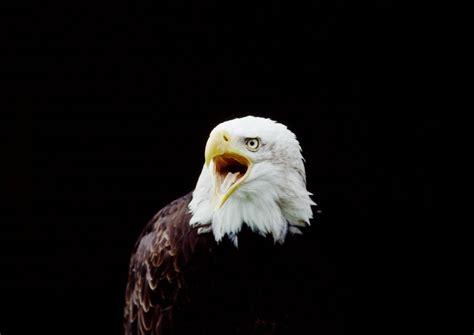 wallpaper 4k eagle bald eagle hd wallpapers american eagle hd pictures hd