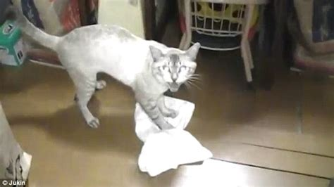 cat cleans floor with a cloth and gets angry when japanese