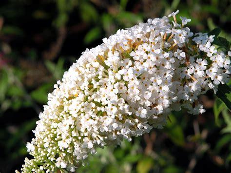 white flowering shrubs white profusion butterfly bush