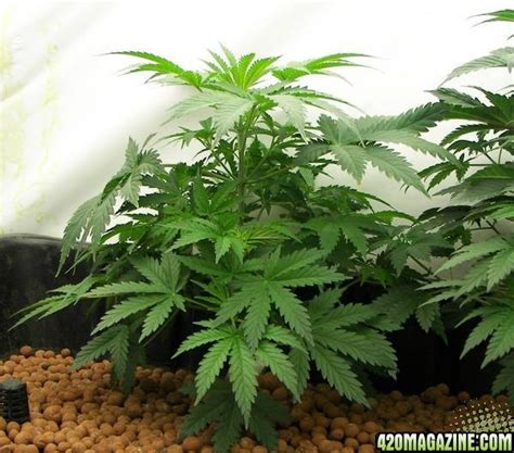 chronic plant www pixshark images galleries with a bite chronic plants 420 magazine photo gallery