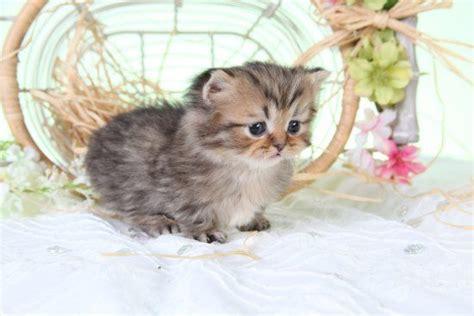 tea cup munchkin kitten at maturity its legs are 2