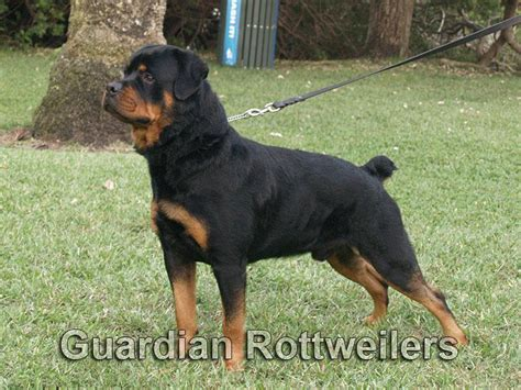 guardian rottweiler guardian rottweilers polo rottweiler puppies miami