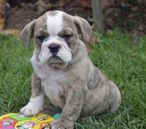 bulldog and pug mix for sale wrinkly bulldog pug mix pups craigspets