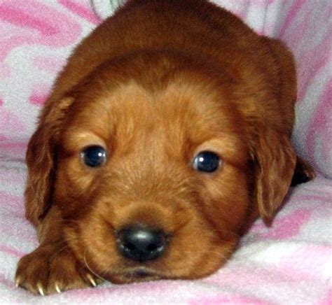 free puppies seattle golden retriever puppies for adoption for sale adoption from seattle washington