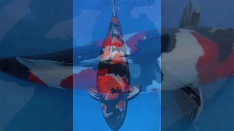 Bibit Ikan Koi Jakarta 0857 64 280 280 jual bibit ikan koi