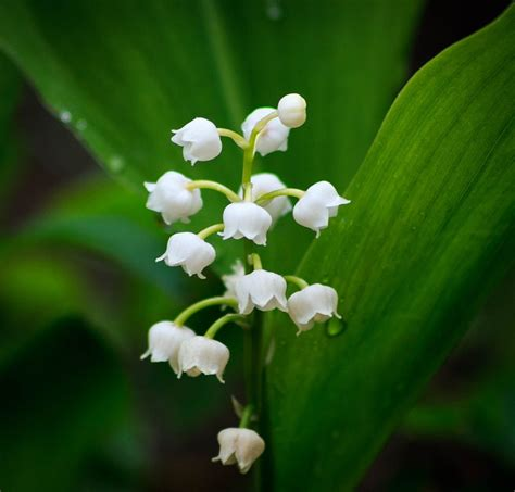 free photo lily of the valley flower spring free image on pixabay 2247075