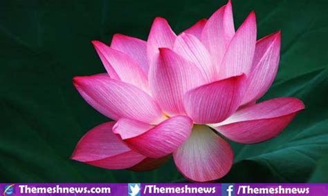 most beautiful lotus flower top 10 most beautiful flowers in the world 2017