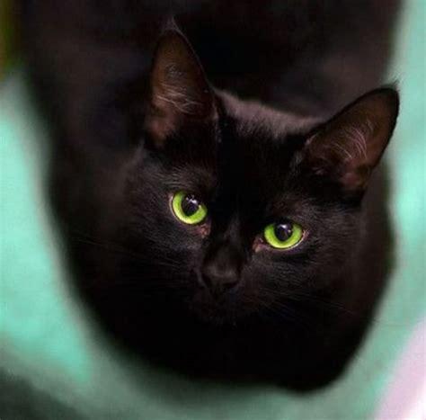 gatti persiani neri aidaa taglia sui rapitori di gatti neri mysocialpet it