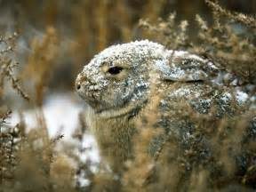 Ubiquitous throughout north and south america cottontail rabbits